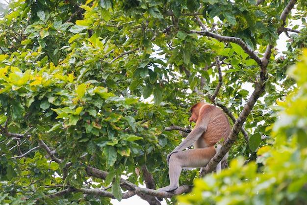 Macaco-narigudo na floresta tropical de bornéu