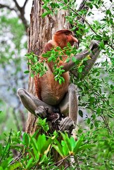 Macaco-narigudo na malásia
