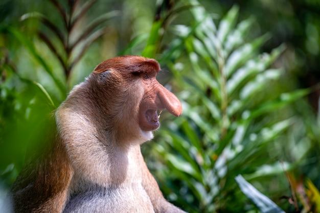 Macaco-narigudo selvagem ou nasalis larvatus, na floresta tropical de bornéu, malásia
