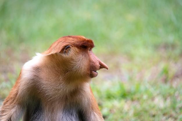 Macaco-narigudo selvagem ou nasalis larvatus, na floresta tropical de bornéu