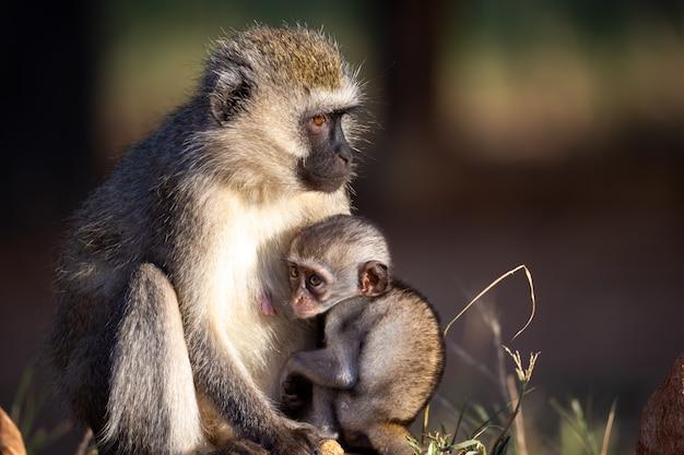 Macaco pequeno sentado com sua mãe na grama