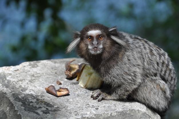 Macaco sagui em estado selvagem no rio de janeiro brasil