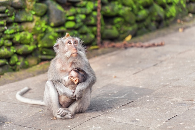 Macaco senta na trilha e abraça seu bebê adormecido