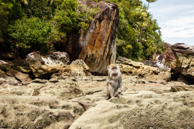 Macaco senta-se nas rochas da ilha de bornéu