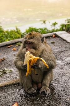 Macaco sentado na estrada e come banana. macaco está comendo na rua.