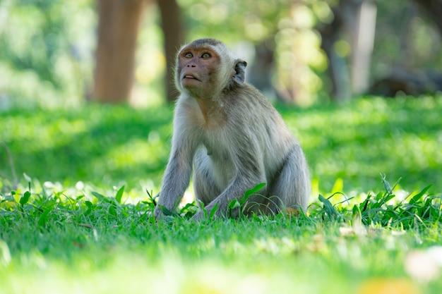 Macaco sentado na grama verde com sol luz, tailândia
