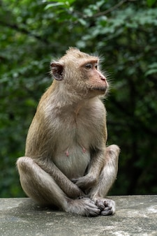 Macaco sentado na parede com fundo natural