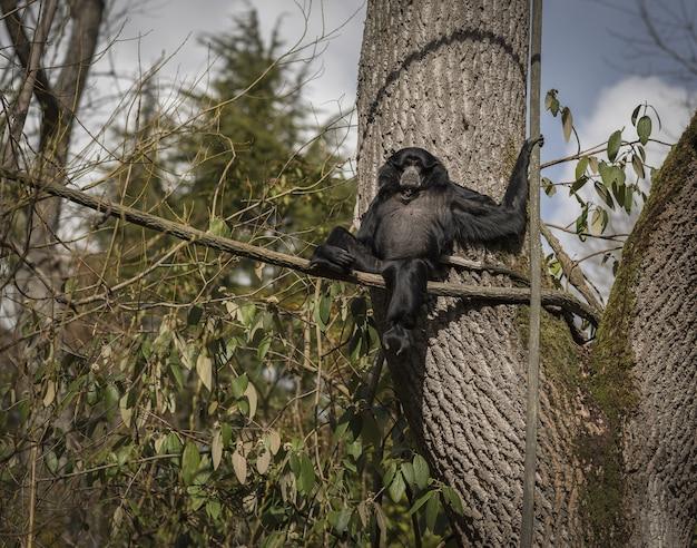 Macaco siamang