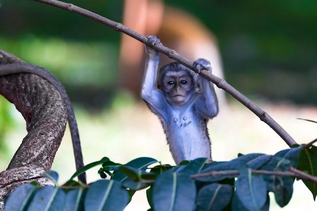 Macaco sobe em um galho