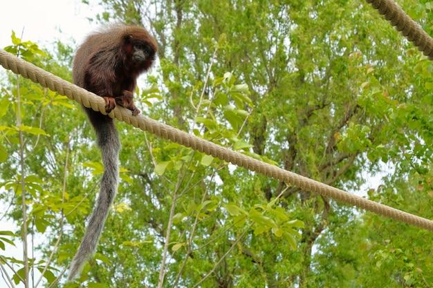 Macaco titi vermelho subindo em um galho no habitat natural