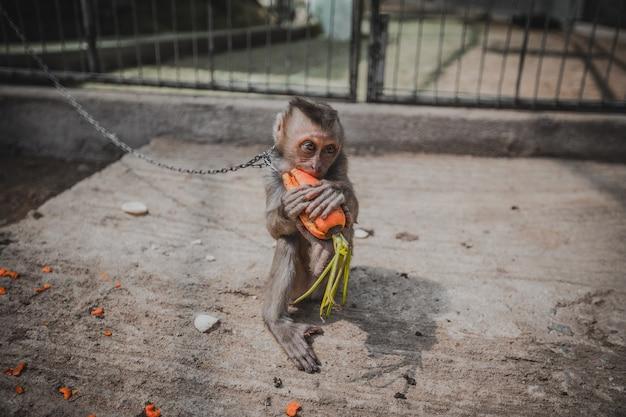 Macaco triste acorrentado com cenoura nas patas