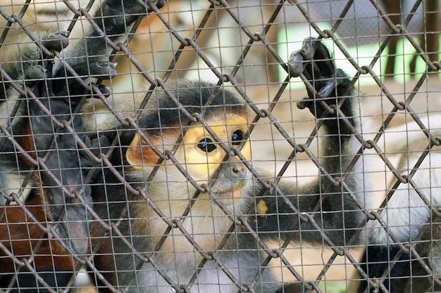 Macaco triste em uma gaiola