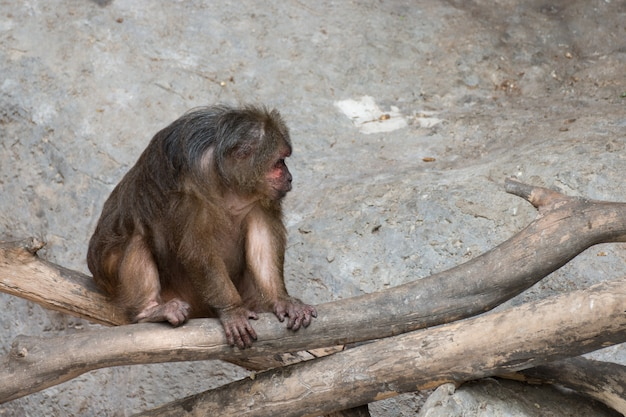 Macaco velho sentado na madeira