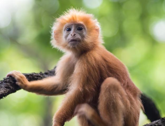 Macaco vermelho jovem em uma árvore