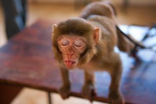 Macaco zoológico