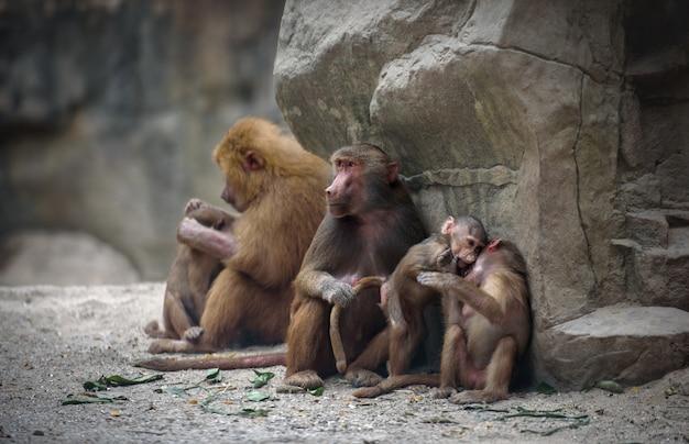 Macacos babuínos de hamadryas