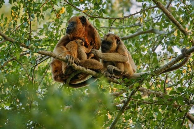 Macacos bugios bem no alto de uma árvore gigante na selva brasileira