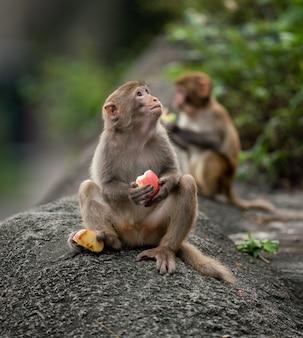Macacos comendo frutas