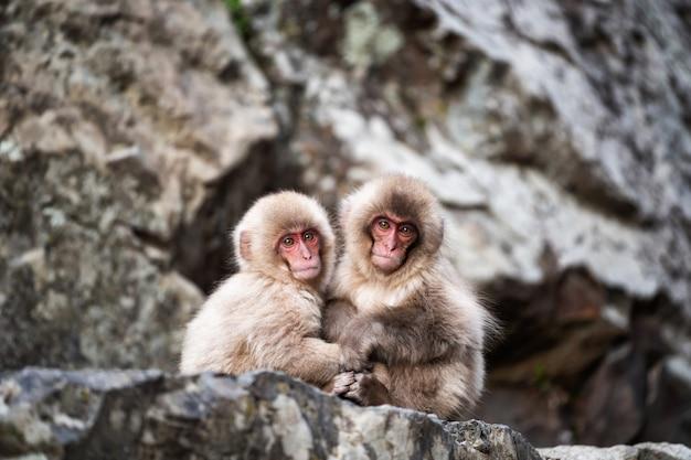 Macacos da neve do bebê no parque de jigokudani, yamanouchi