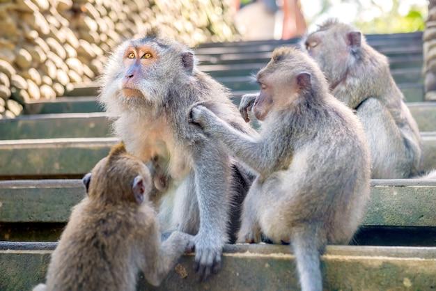 Macacos de cauda longa de bali nas escadas