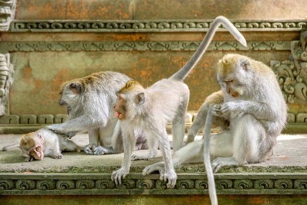 Macacos de cauda longa de bali no santuário