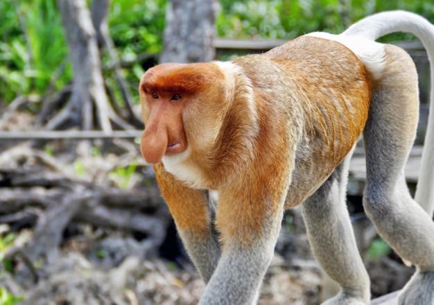 Macacos de nariz nas selvas de bornéu (kalimantan)