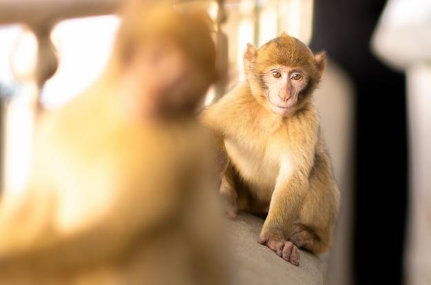 Macacos do bebê