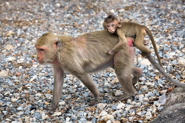 Macacos em estado selvagem