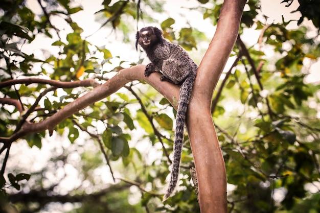 Macacos micos-leões dourados na árvore