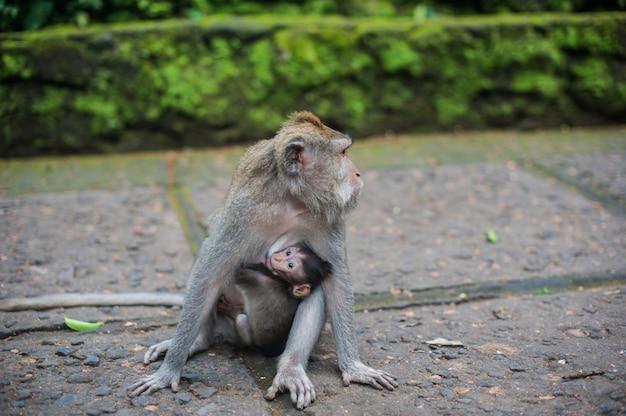 Macacos na floresta de macacos, bali
