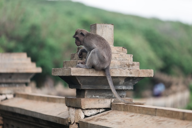 Macacos no templo de uluwatu, na ilha de bali, indonésia