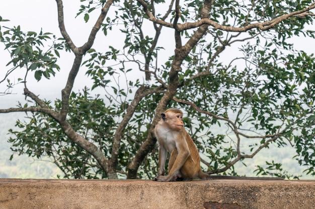 Macacos perto de sigiriya rock ou lion rock fortress