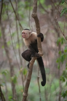 Macacos-prego-de-garganta-branca, sentados nas selvas da costa rica