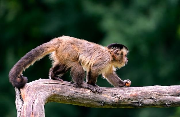 Macacos-prego em seu habitat natural e na savana africana
