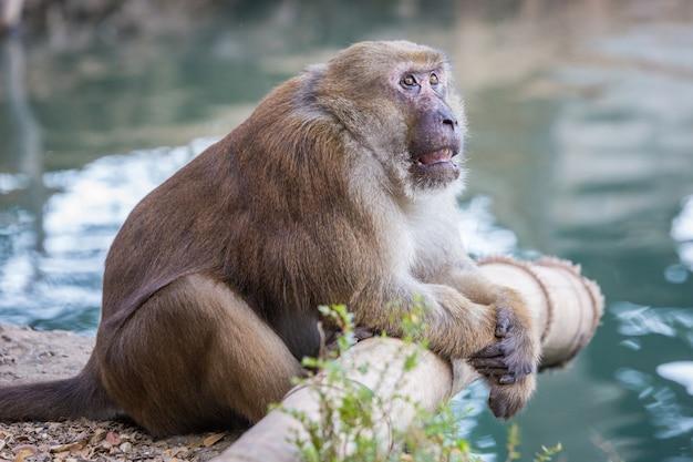 Macacos selvagens, babuínos na tailândia