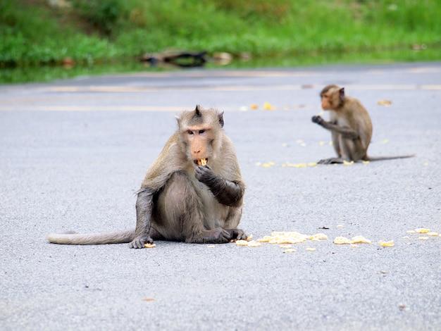 Macacos selvagens comendo comida de gente