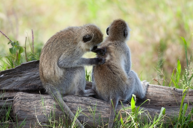 Macacos vervet chlorocebus pygerythrus