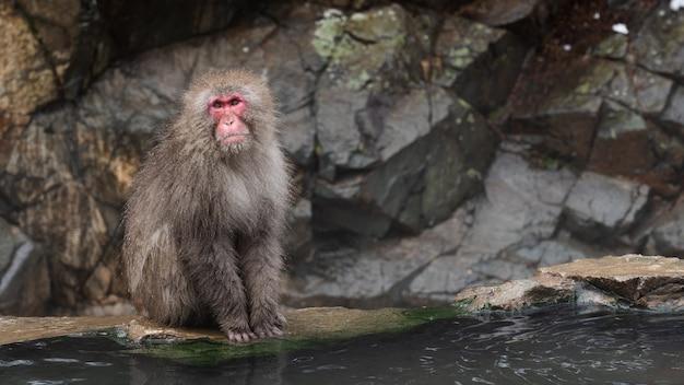 Macaque alfa