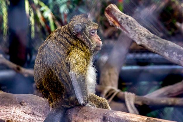 Macaque comedores de caranguejo no zoológico
