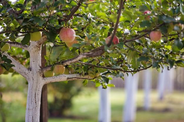Maçãs agradáveis grandes que amadurecem em macieiras caiadas de branco no jardim ensolarado do pomar no fundo verde borrado.
