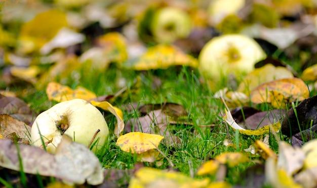 Maçãs caídas na grama