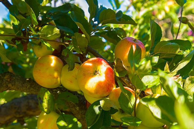 Maçãs em macieira