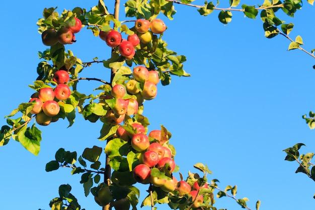 Maçãs em um galho de árvore contra um céu azul
