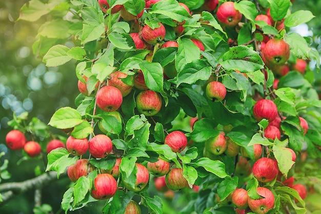Maçãs em um galho de uma árvore. pomar de macieiras