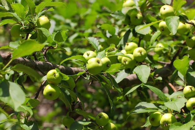 Maçãs frutas frutas verdes amadurecem na árvore entre as folhas.