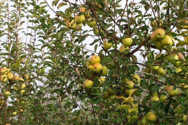 Maçãs maduras em close-up de galho de macieira.