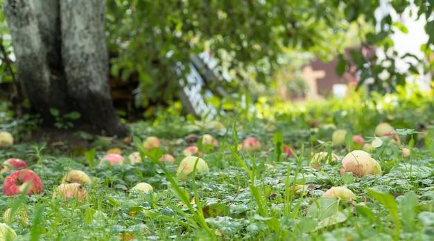 Maçãs maduras no chão no jardim