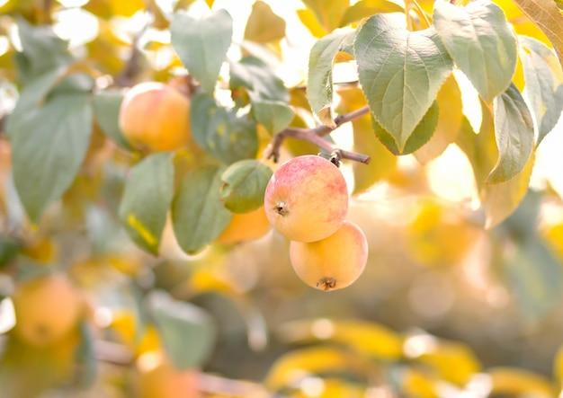 Maçãs maduras que penduram de uma filial de árvore em um pomar de fruta.