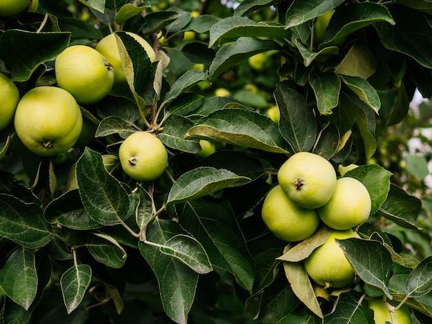Maçãs maduras, verdes em um galho no jardim. maçãs suculentas cultivadas em casa.
