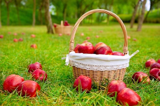 Maçãs na cesta em um campo de árvores de grama
